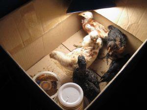 chicks4weeks
